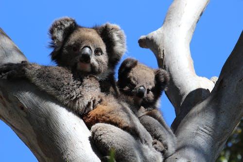 Low Angle Shot of Koalas on a Tree