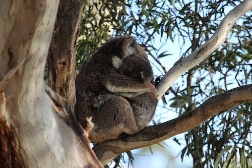 Koala Hugging each other on a Tree Branch