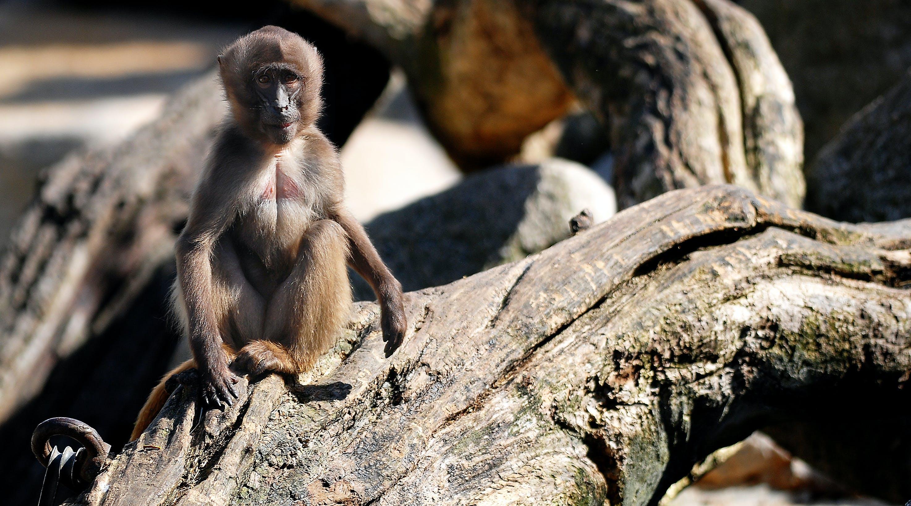 Monkey Sitting on Tree Log