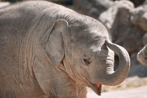 Photos gratuites de animal, éléphant, éléphant d'afrique