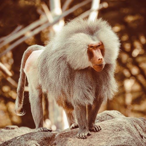 Photos gratuites de amusant, animal, babouin