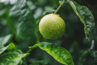 Green Round Fruit on Tree Branch