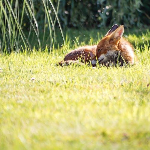 Gratis stockfoto met beest, Londen, stedelijke vos, vos