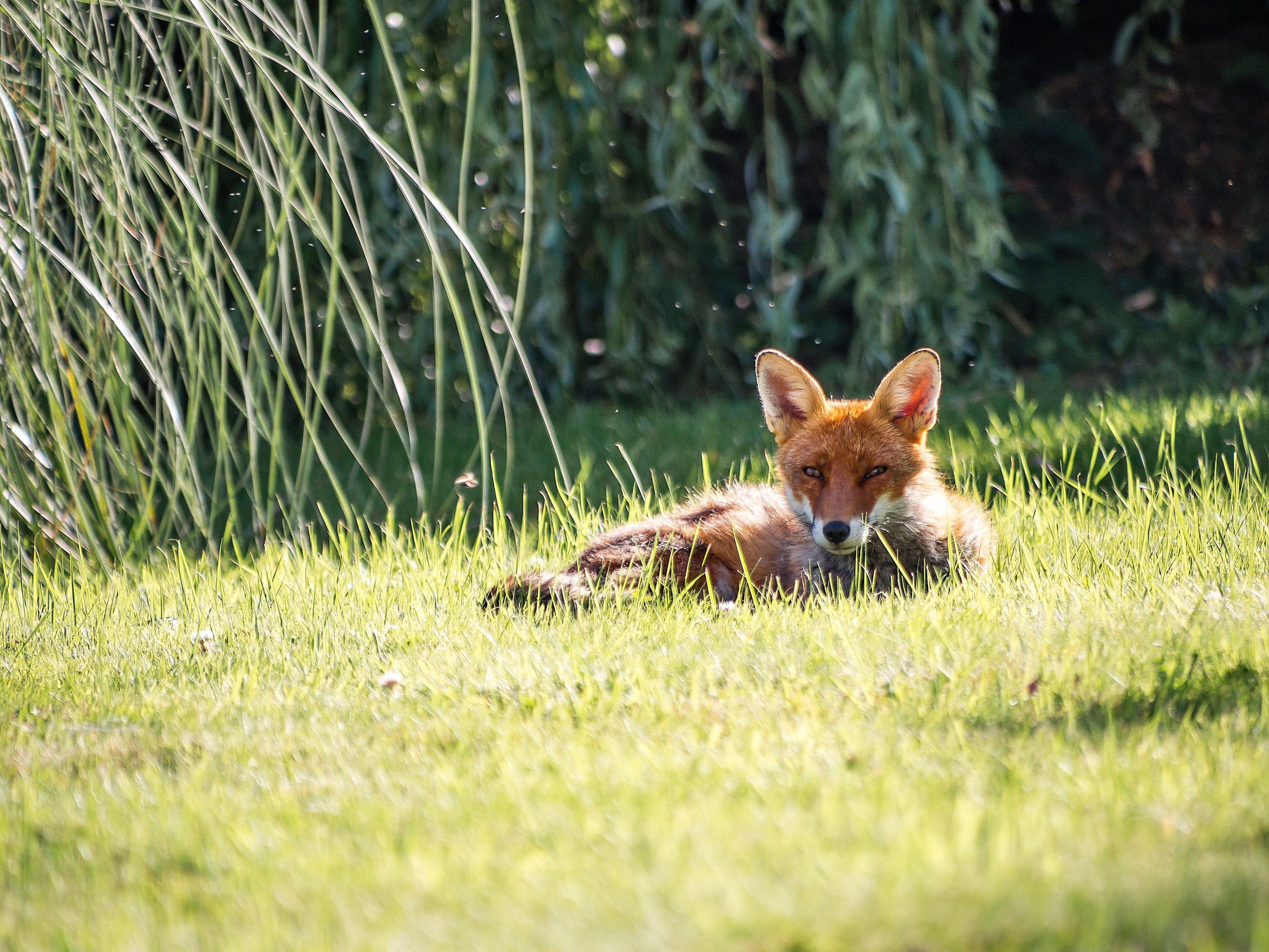 Photography of a Fox Lying on Grass