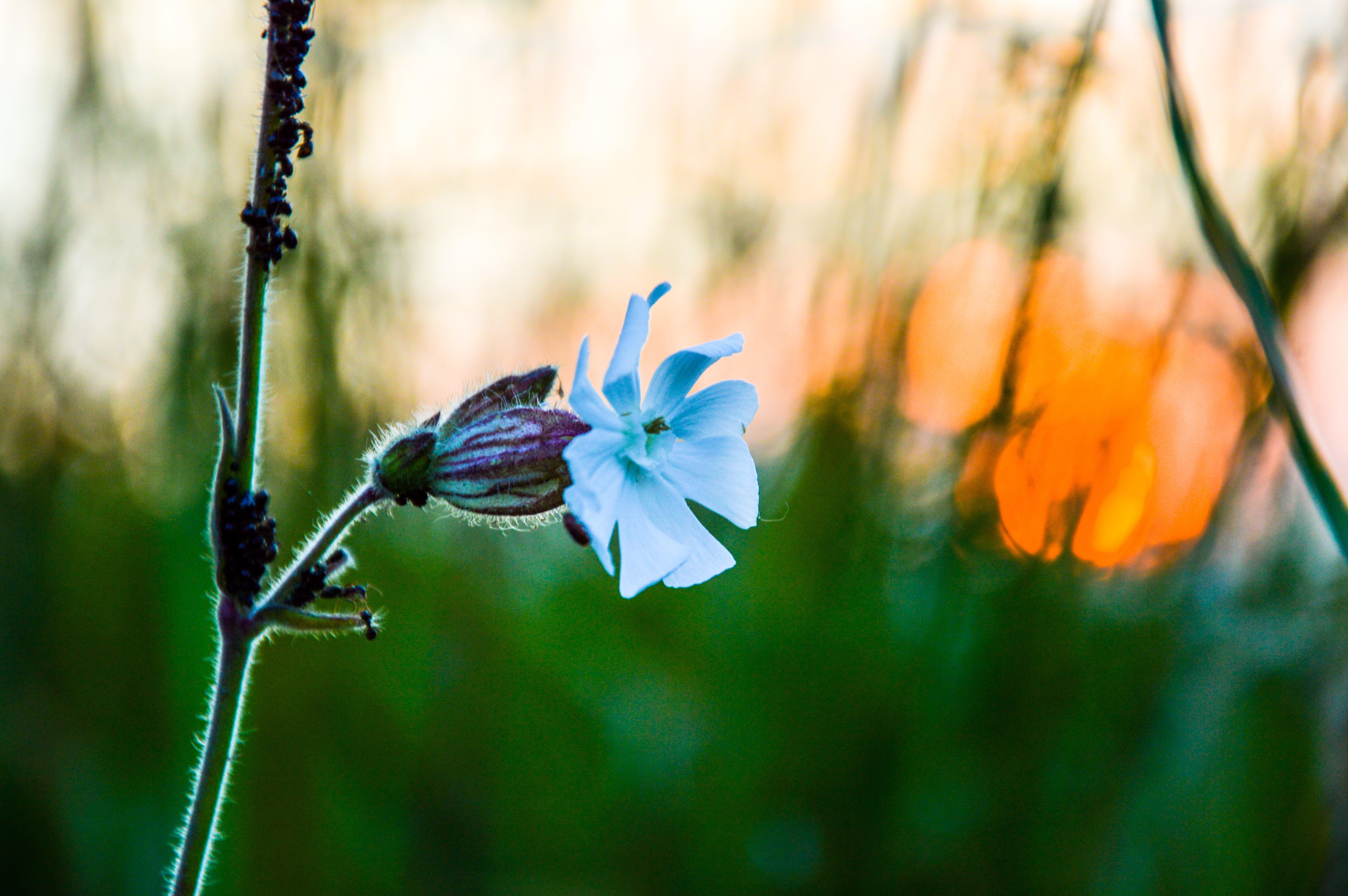 Free stock photo of sunset, flower