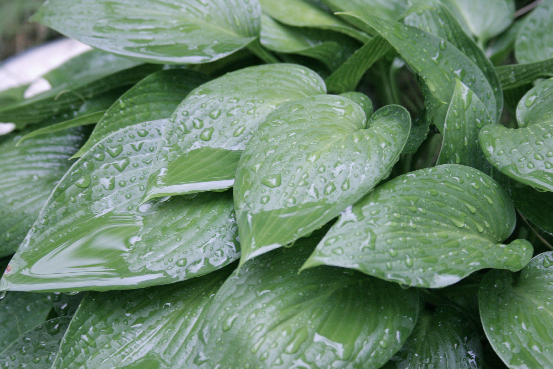 Free stock photo of leaves, rain, green, natural