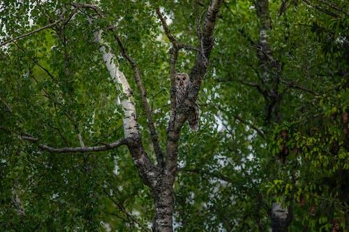 Free stock photo of animal, bark, birch