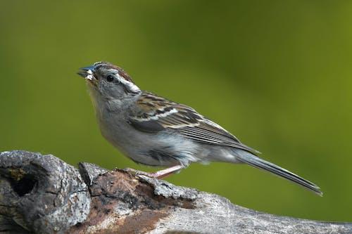 Free stock photo of avian, bird, chipping sparrow