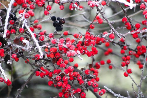 Free stock photo of berry, black and red, red