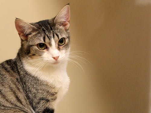 Fotobanka sbezplatnými fotkami na tému mačka, oči, prijať, srsť