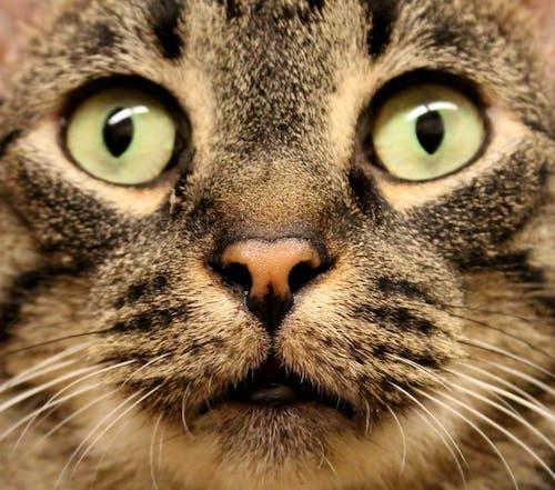 고양이, 고양잇과 동물, 눈, 보다의 무료 스톡 사진
