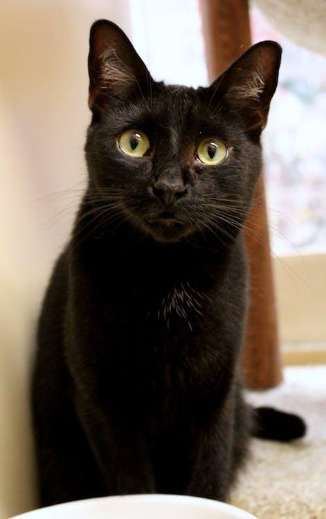čierna, mačka, mýtus