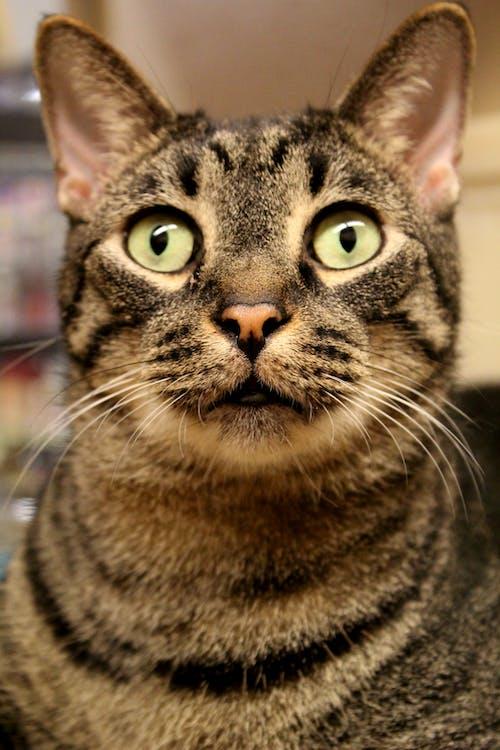 Δωρεάν στοκ φωτογραφιών με Γάτα, ενστερνίζομαι, μάτια, μύτη