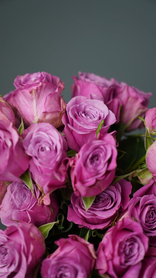 Close Up Photo of Purple Roses