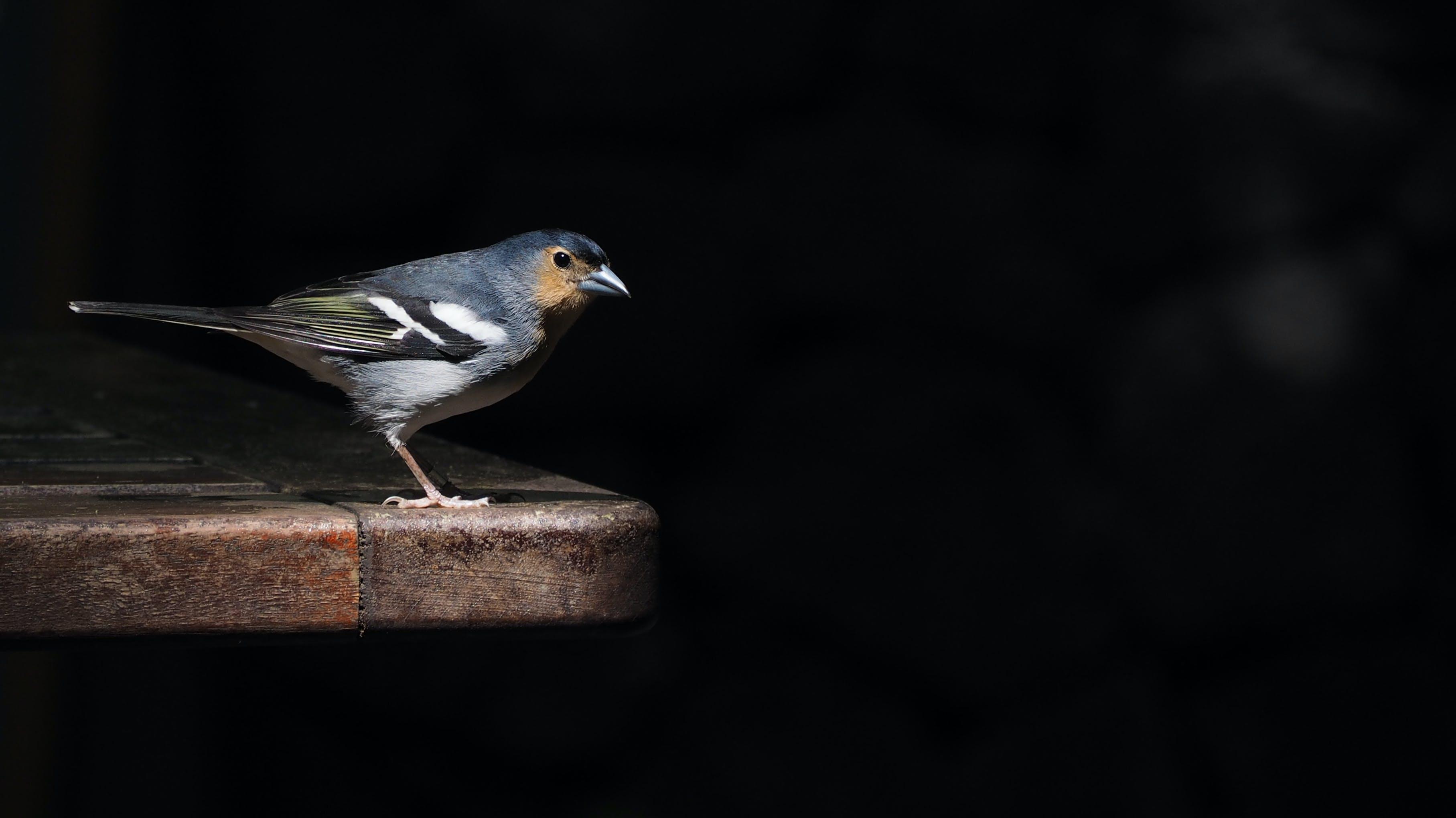 Free stock photo of bird, dark blue, nature