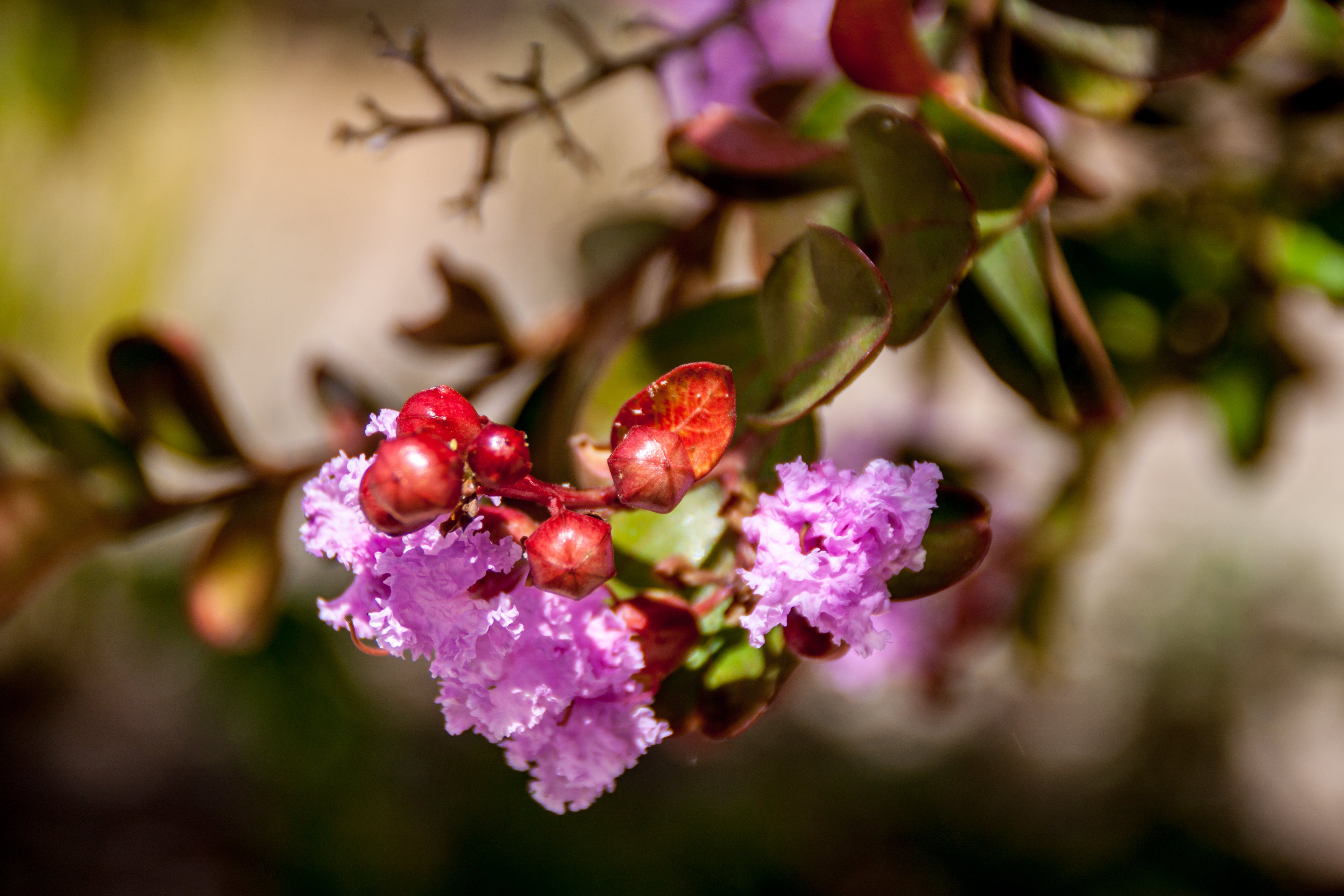 Free stock photo of flower, fruit, nature, pink