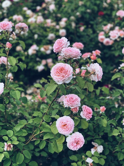 Blossoming fragrant pink roses growing on branches of shrub with green foliage in garden