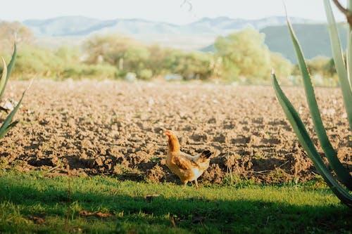 A Chicken Walking on a Grass