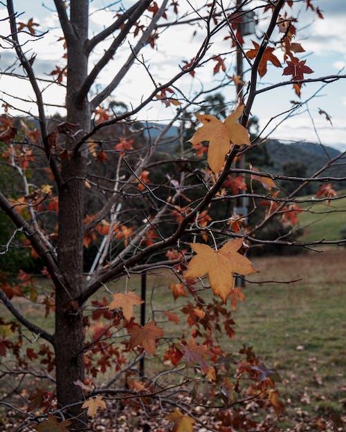 Free stock photo of australia, autumn leaf, autumn leaves