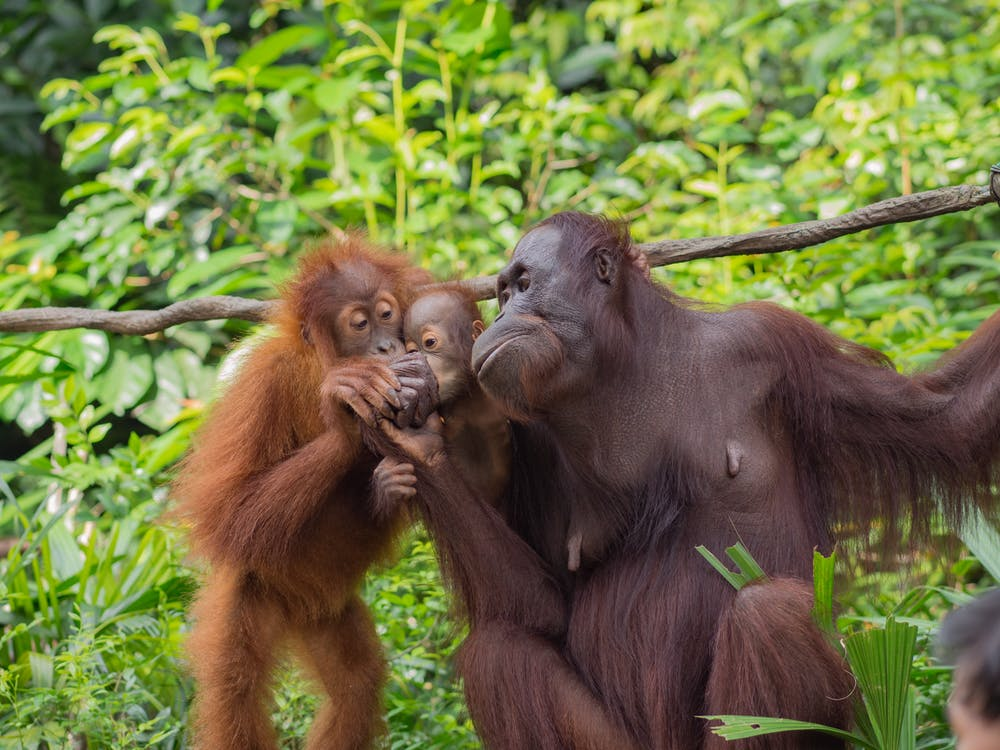 Free stock photo of ape, baby ape, orangutan