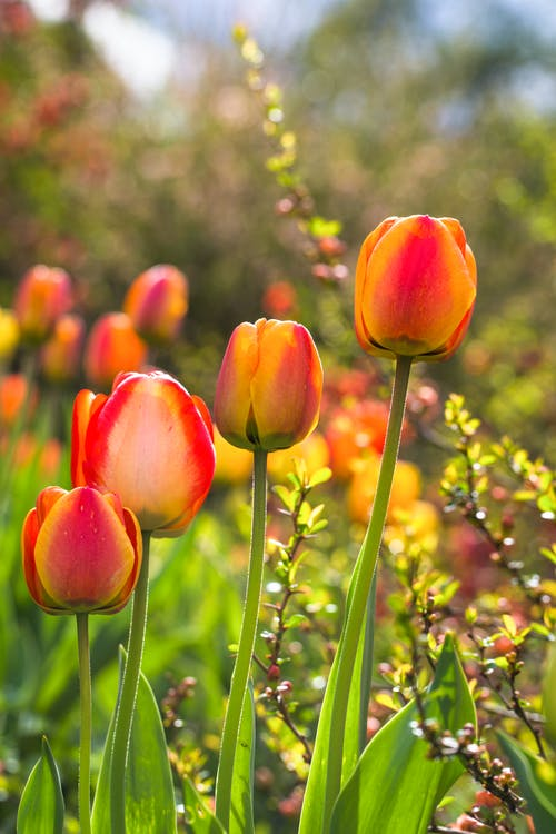 A Close-Up Shot of Tulip Flowers