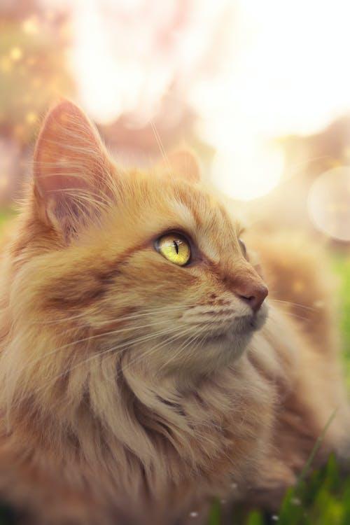 Безкоштовне стокове фото на тему «домашні тварини, домашній кіт, домашня тварина, імбир»