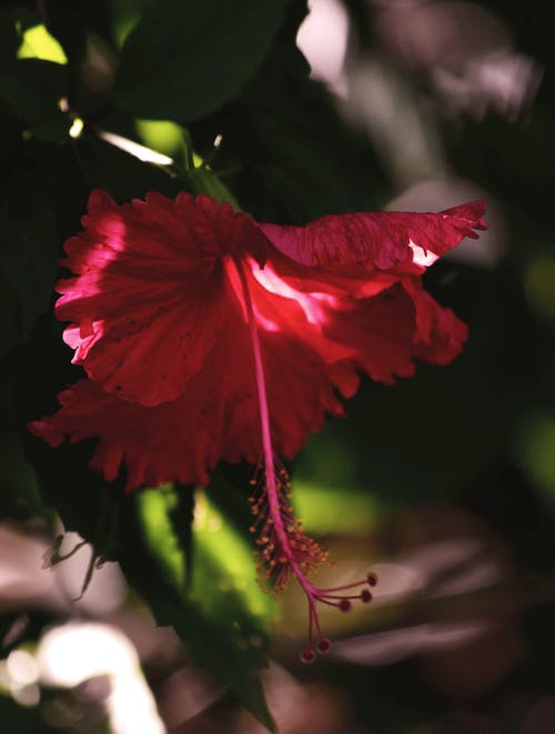 Close-Up Photo of a Red Hawaiian Hibiscus