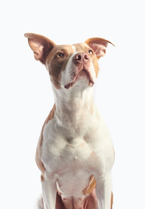 Adult Tan and White American Pit Bull Terrier
