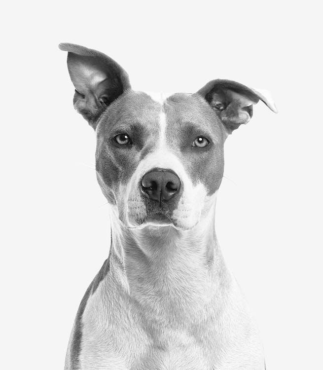 Foto Aproximada De Cachorro De Pelo Curto Branco E Cinza