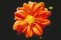 Orange Daisy Flower in Close-up Photography