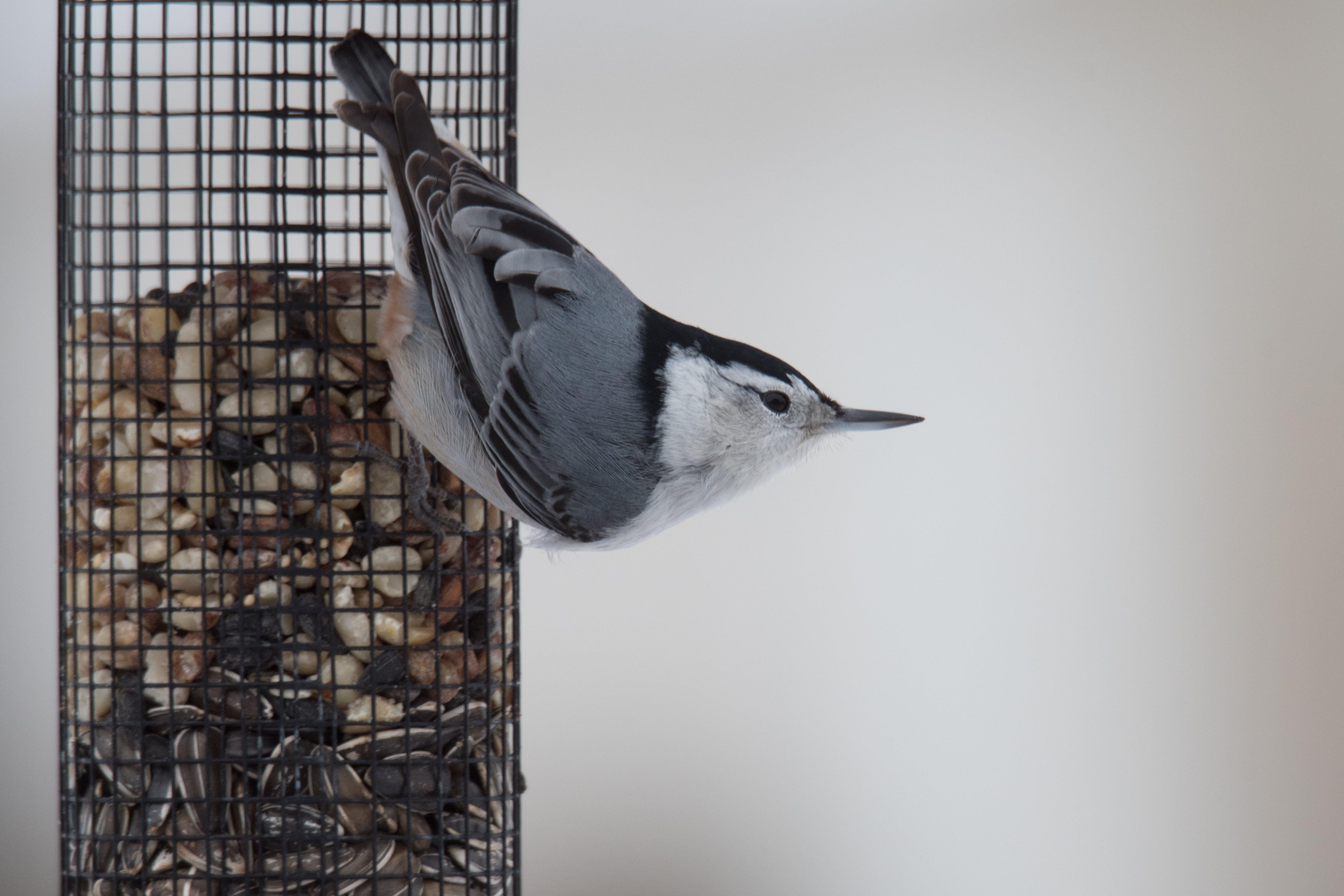 Free stock photo of backyard, beak, bird, bird feeder