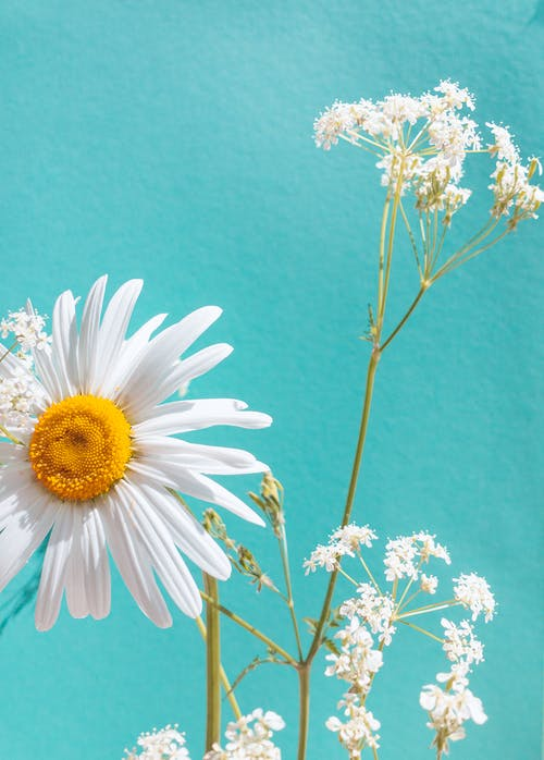 White Daisy Flowers in Close Up Photography