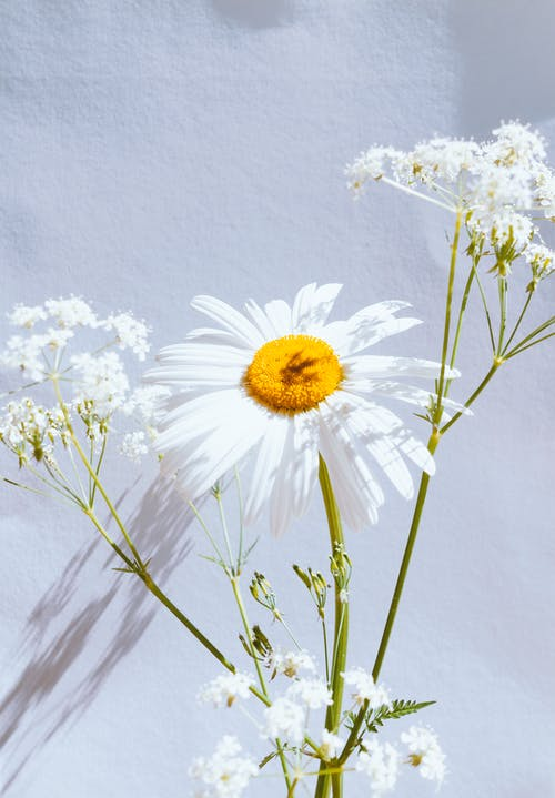 White Daisy Flower in Close Up Photography