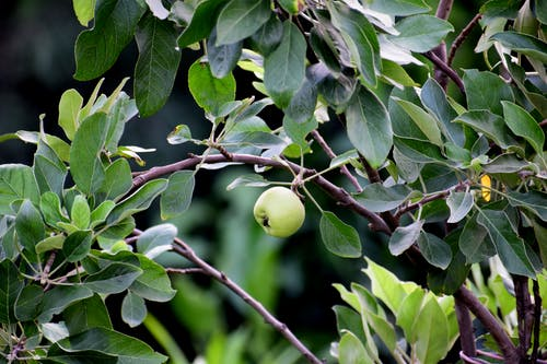 Free stock photo of apple, apple blossom, beautiful nature