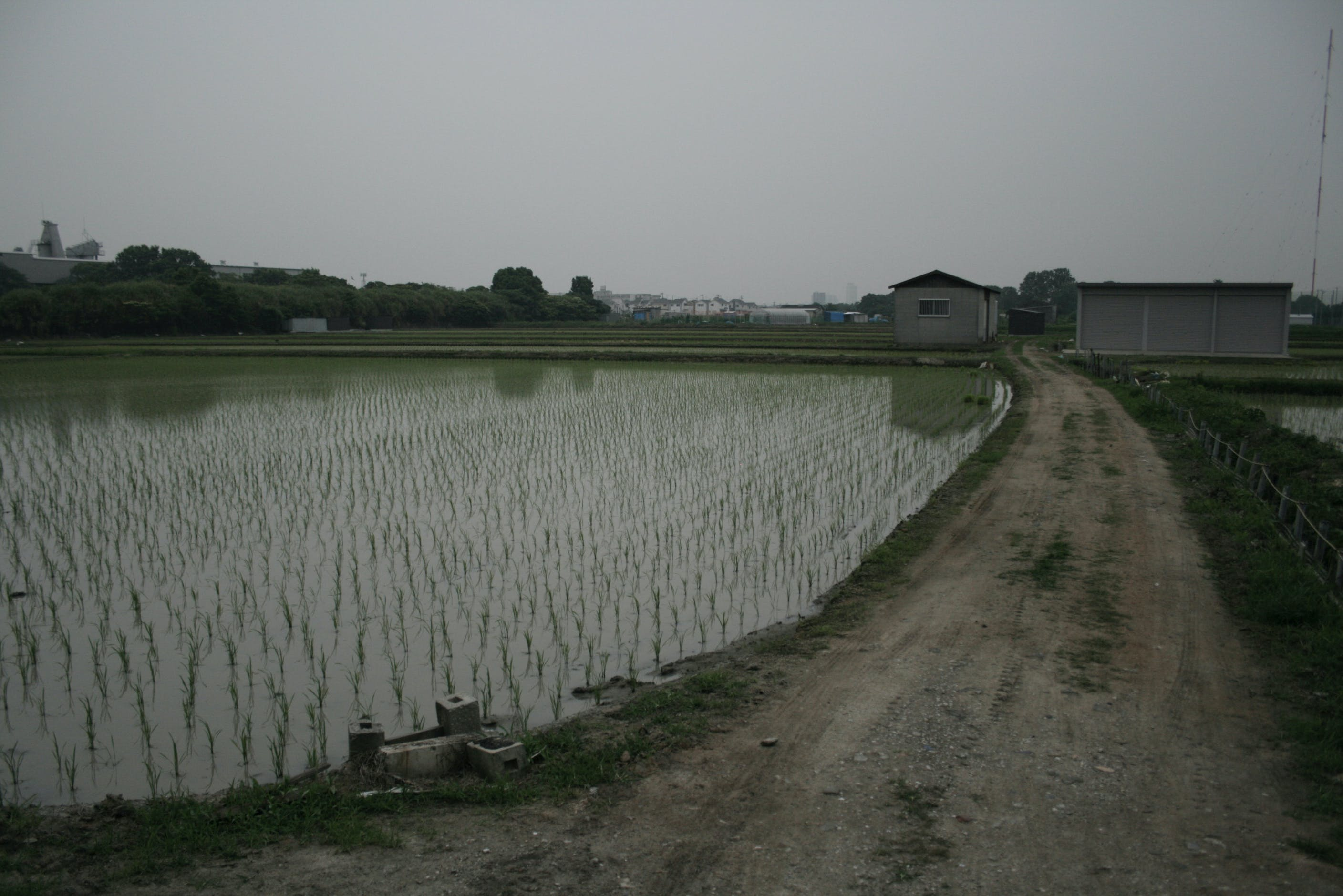 Free stock photo of food, nature, rice field, cloudy sky