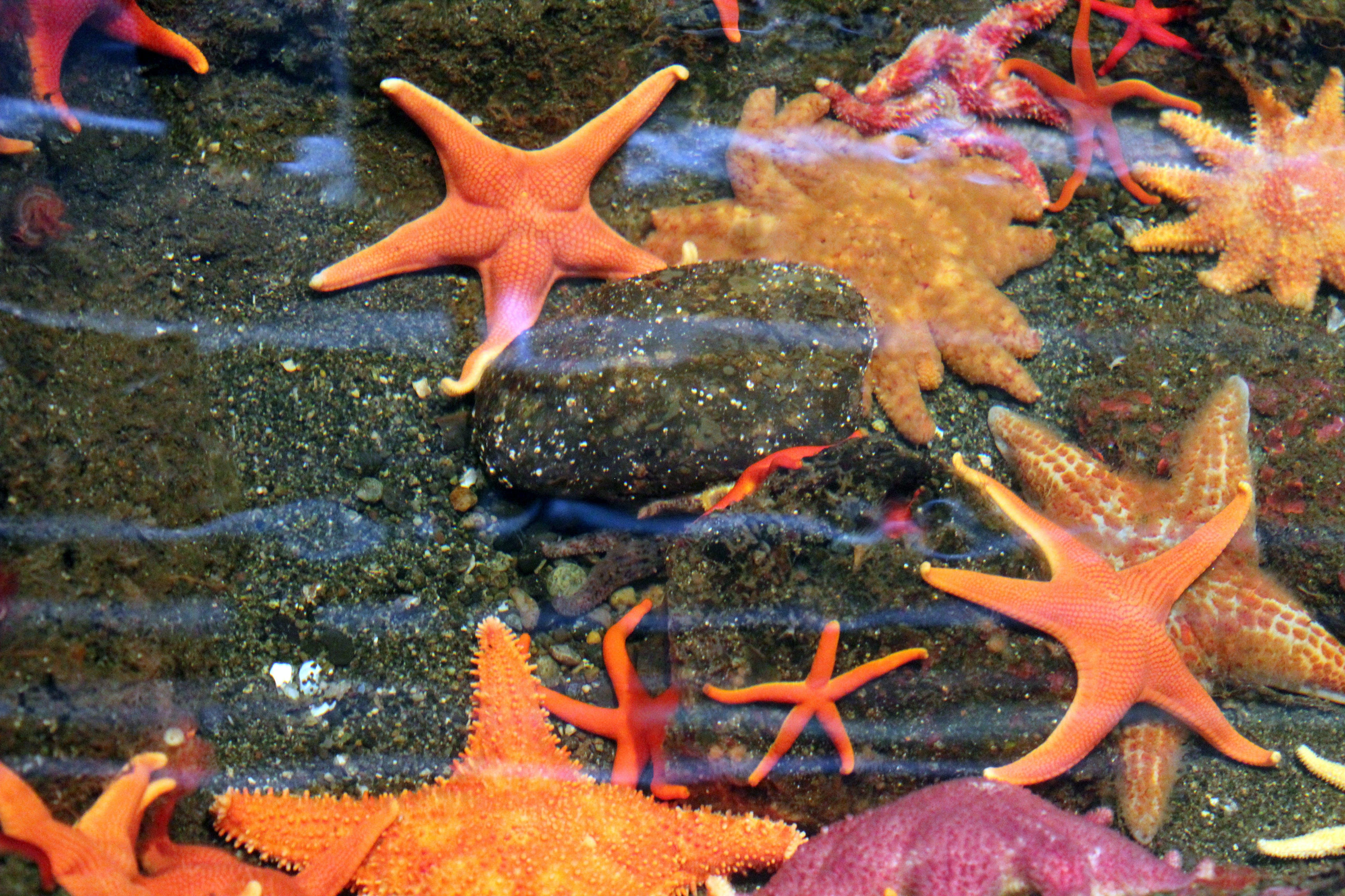 Free stock photo of aquarium, starfish