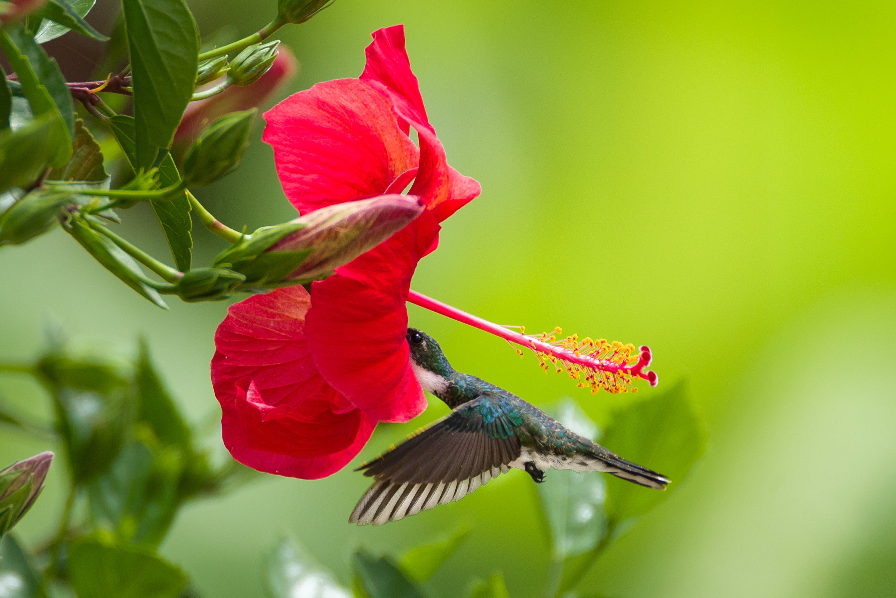 Free stock photo of nature, bird, flower, hummingbird