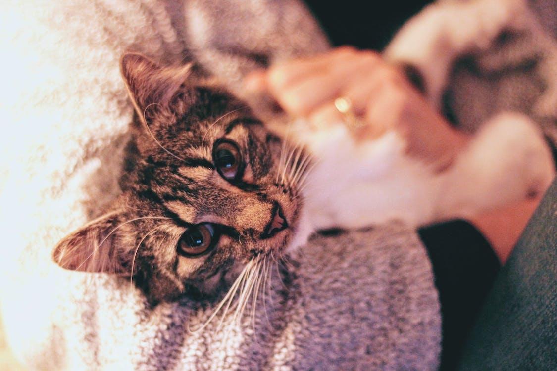 虎斑貓的特寫攝影