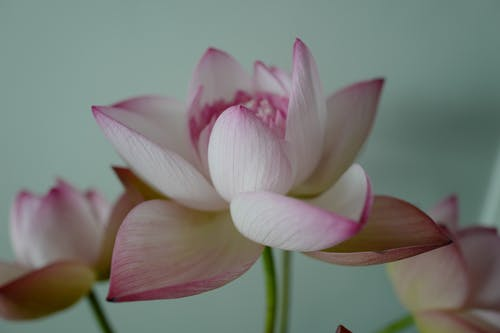 Close-Up Photo of a White and Pink Water Lily