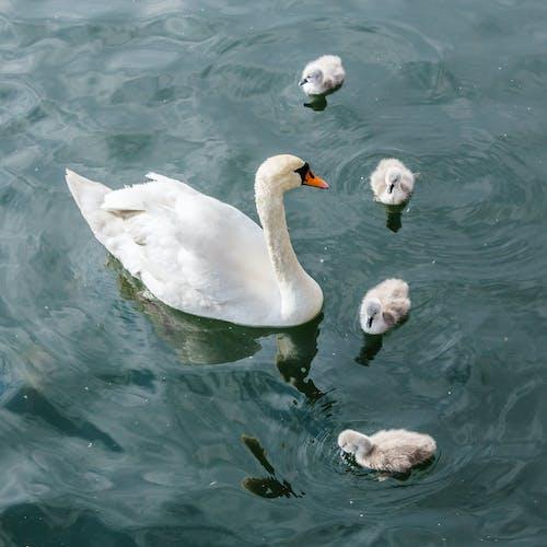 Fotos de stock gratuitas de agua, animal, aves acuáticas