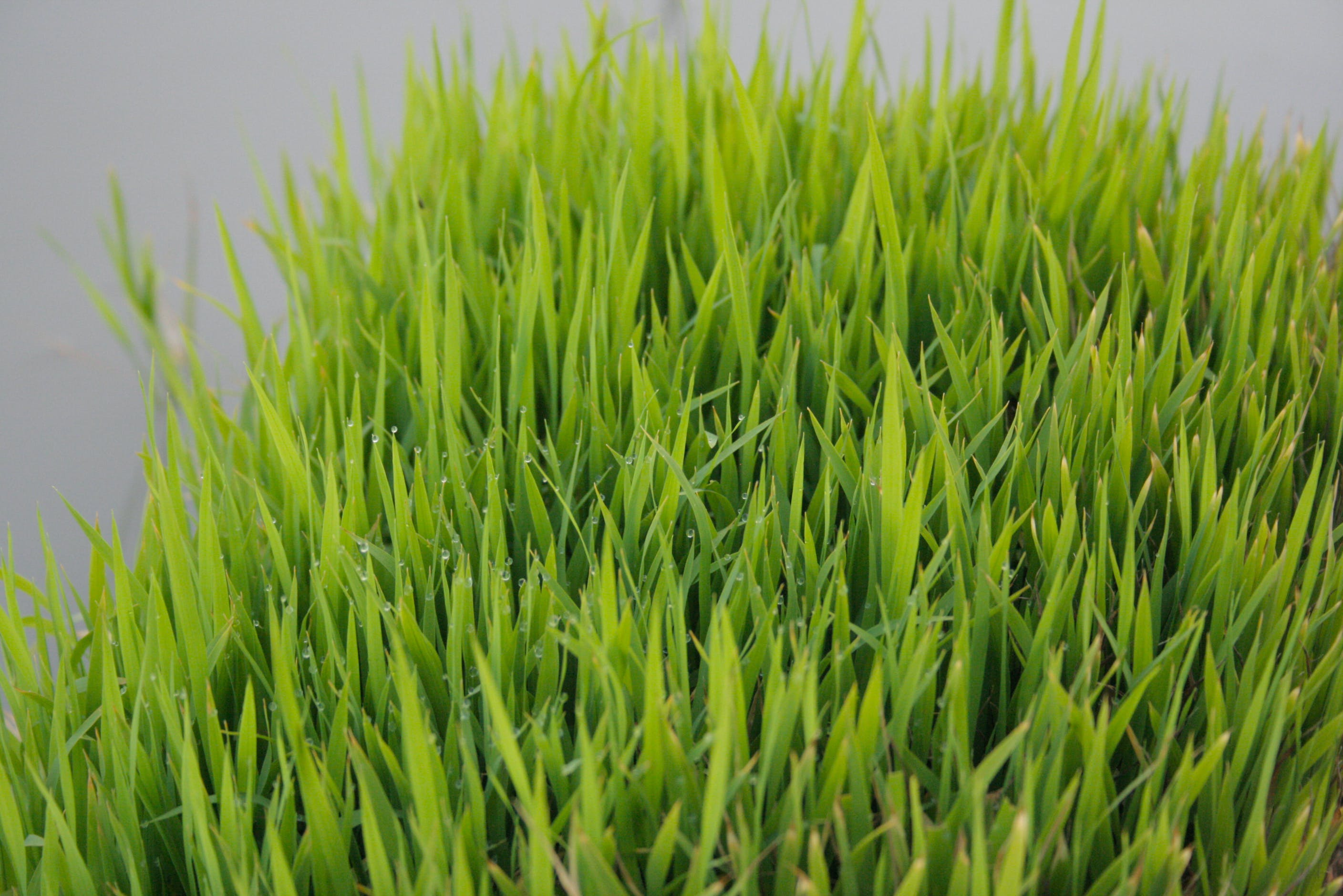 Free stock photo of food, green, rice