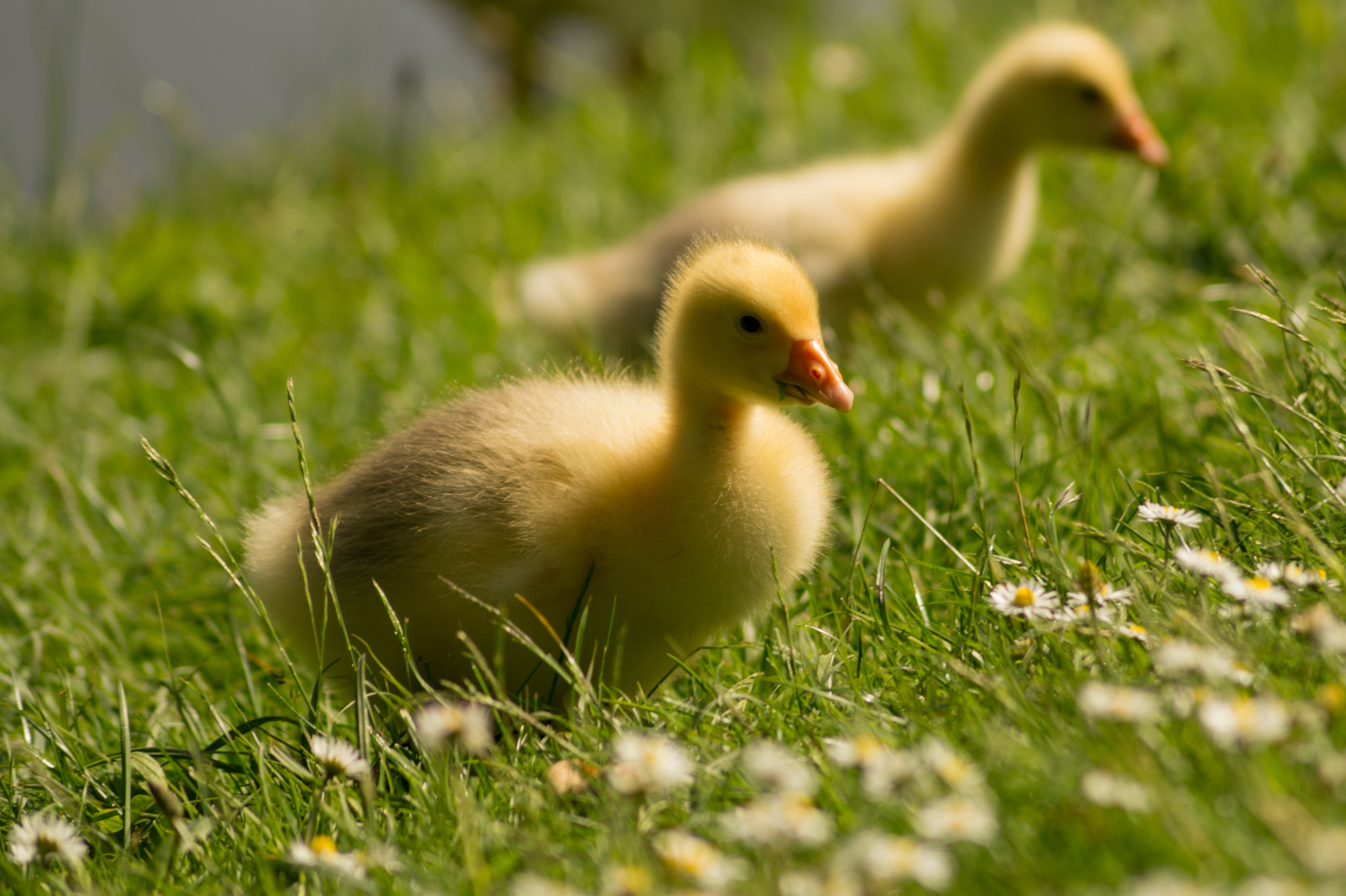 Selective Focus Photography of Yellow Ducklings Standing on Green Grass Field