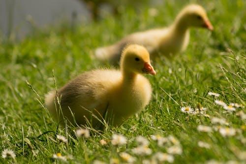 Photos gratuites de à proximité, animaux, canards, champ