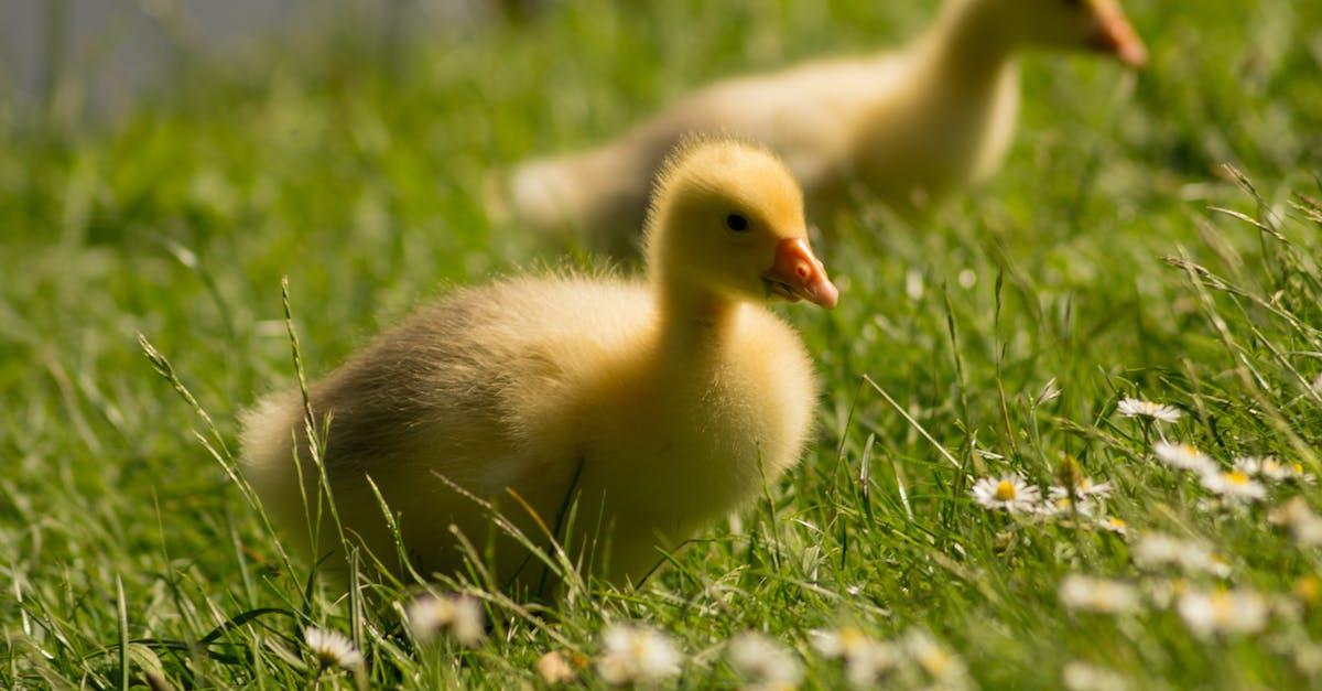 Free stock photo of animals, chicks, close to