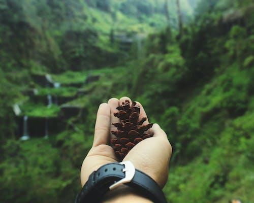 Základová fotografie zdarma na téma borová šiška, borovice, denní světlo, dřevo
