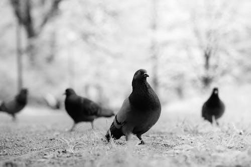 Безкоштовне стокове фото на тему «великий план, відтінки сірого, Голуби»