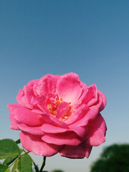 A Pink Rose in Full Bloom