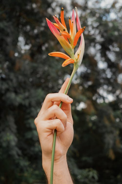 Selective Focus Photo of a Person's Hand Holding an Orange Heliconia Flower