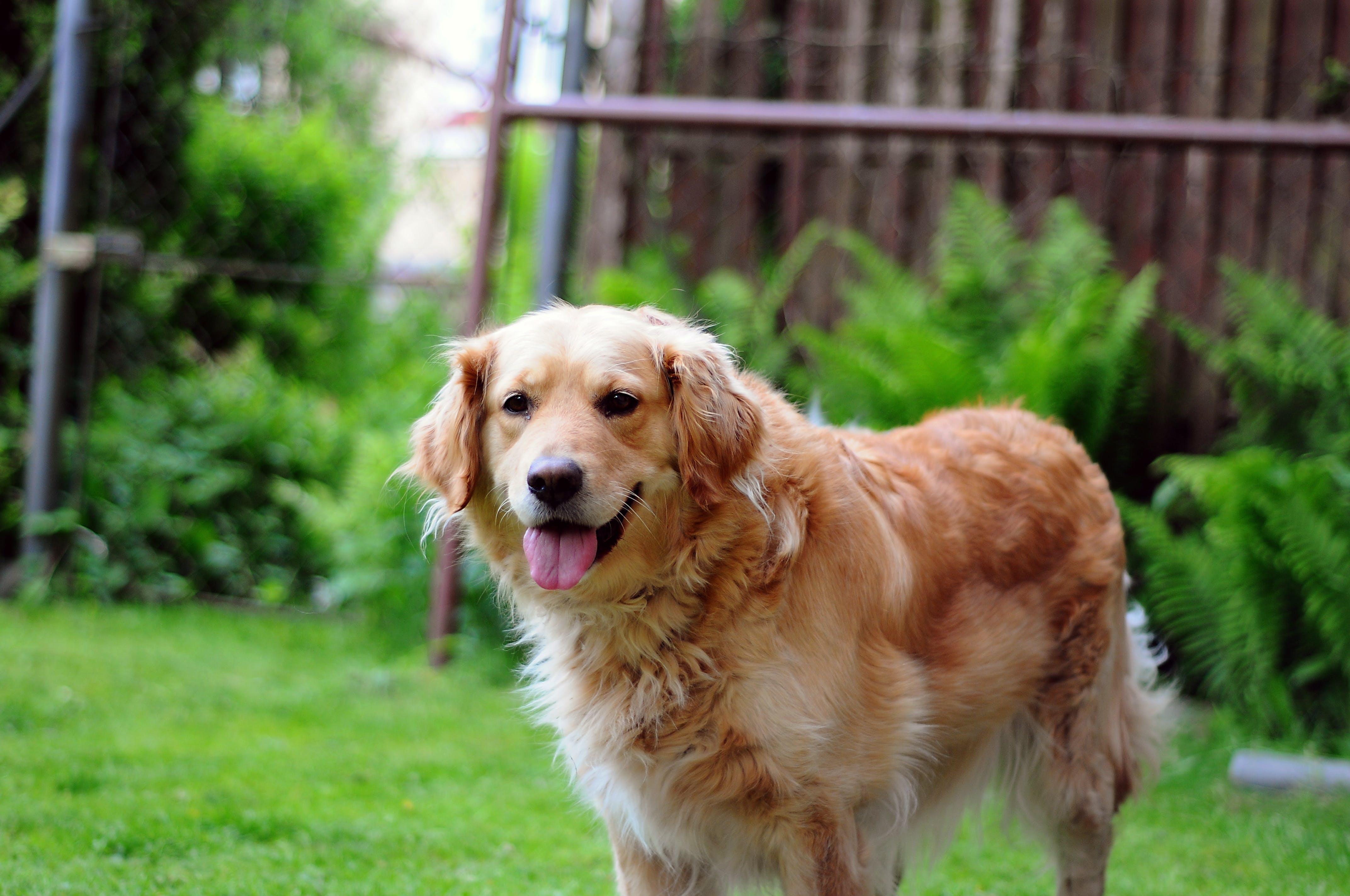 dog, golden, happy