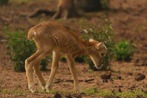 Kostenloses Stock Foto zu antilope, baby, draußen